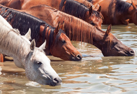 Horses drinking on a hot day, the header image for Wild Horse Strategies posts covering strategic marketing, product development and launch.